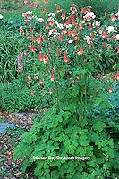 63821-042.10 Columbine (Aquilegia canadensis) Marion Co.   IL