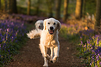 WEATHER PICTURE<br /> A golden retriever runs as sunset falls on Dockey Wood on the Ashridge Estate, Hertfordshire, UK. Work is being undertaken to protect the bluebells and encourage visitors to stay on the marked footpaths.
