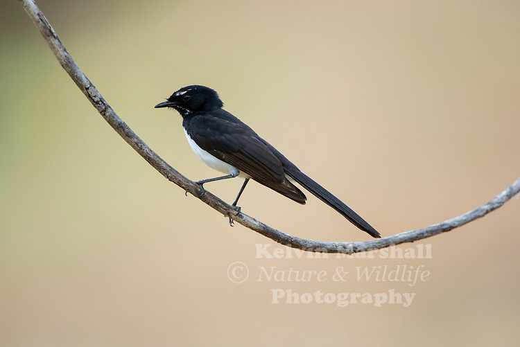 The Willie Wagtail (Rhipidura leucophrys) is the largest, and most well-known, of the Australian fantails. The plumage is black above with a white belly. The Willie Wagtail can be distinguished from other similar-sized black and white birds by its black throat and white eyebrows and whisker marks. The name wagtail stems from the constant sideways wagging of the tail. Young birds resemble the adults, but have paler, slightly rusty edges to the feathers of the wings. Cairns - Far North Queensland, Australia.