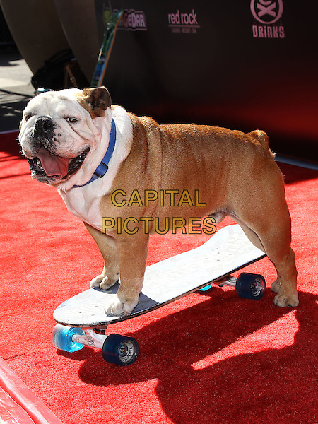Tillman the Skateboarding Dog.Tony Hawk's 3rd Annual Stand Up For Skateparks fundraiser at Red Rock Station Hotel and Casino, Las Vegas, Nevada, USA.  .November 5th, 2011.animal pet bulldog side skateboard .CAP/ADM/MJT.© MJT/AdMedia/Capital Pictures.