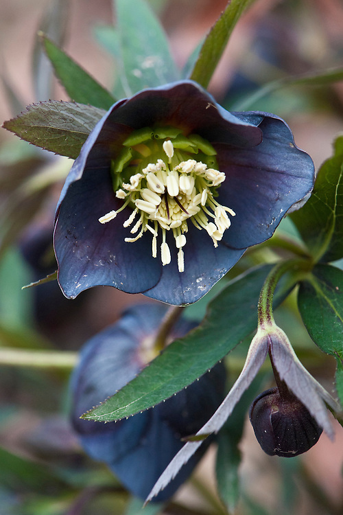 Helleborus x hybridus 'Smokey Blue', late February.