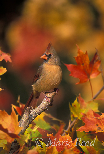 Northern Cardinal (Cardinalis cardinalis) female perched amid fall foliage, New York USA<br /> Slide B162-361