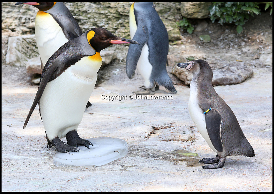 BNPS.co.uk (01202 558833)<br /> Pic: JohnLawrence/Birdland/BNPS<br /> <br /> Frosty reception...Humboult penguin trys to join in.<br /> <br /> Birdland penguins get n-ice treat for their happy feet.<br /> <br /> A colony of king penguins have been given giant ice blocks to help them chill out during the hot weather.<br /> <br /> With temperatures pushing 30 degrees, the penguins - who are most comfortable in arctic conditions - have been struggling to cope. <br /> <br /> So staff at wildlife attraction Birdland in Bourton-on-the-Water, Gloucestershire, froze tubs of water to recreate miniature icebergs for the flightless birds.<br /> <br /> They have also installed a series of water sprinklers around their enclosure to allow them to cool down.<br /> <br /> Birdland, which celebrates its 60th anniversary this year, looks after the UK's only breeding colony of king penguins - the second largest specimen of penguins in the world who weigh up to 40lb.