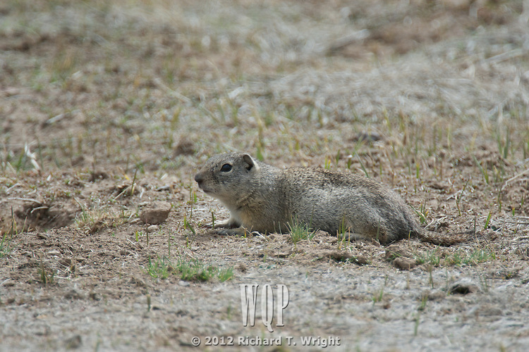 Townsend's ground squirrel (Urocitellus townsendii), a species of rodent in the Sciuridae family, is found in high desert shrublands in several areas of the United States.