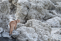One of the puma families we saw included a mother with two seven-month-old cubs.  This is the mother.