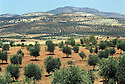 Syrie 2002<br /> Champs d'oliviers dans le djebel Akrad<br /> Syria 2002<br /> Olive trees in djebel Akrad