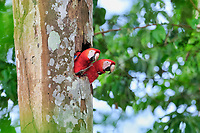 scarlet macaw, Ara macao, breeding pair with radiotelemetry collar in nest in a hole of a tree, Tambopata National Reserve, Madre de Dios Region, Tambopata Province, Peru, Amazonia