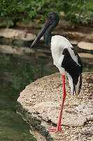 The Black-necked Stork is the only stork found in Australia. With black and white body plumage, glossy dark green and purple neck and massive black bill, it is easily identified from all other Australian birds.