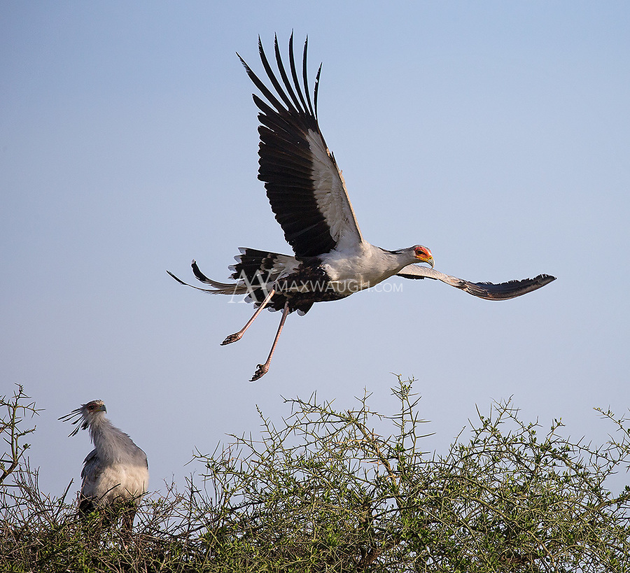 We had a nice encounter with a pair of Secretary birds, which were actively working on their nest. Here, the male takes off to go get more nesting materials.