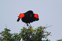 Red-winged Blackbird (Agelaius phoeniceus), male singing, Sinton, Corpus Christi, Coastal Bend, Texas, USA
