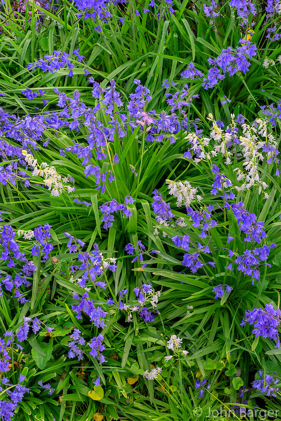ORPT_D125 - USA, Oregon, Portland, Tideman Johnson Natural Area, Spring bloom of harebell or bluebell (Campanula rotundifolia) displays both blue and white flowers.
