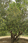 Israel, Shephelah, Kermes Oak tree in Masua forest