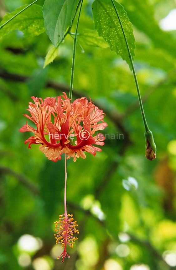 06/ Jardin botanique &quot;Les Cèdres&quot;<br /> Hibiscus schizopetalus