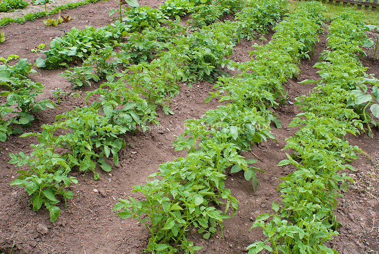 Rows Of Potato Plants In Patch Plant Amp Flower Stock
