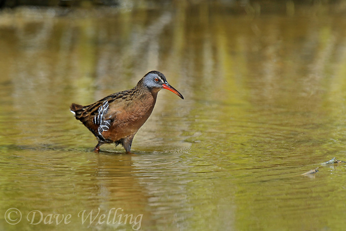 575100006 a wild adult virginia rail railus limicola forages in a shallow pond near the pacific ocean in ventura county california united states