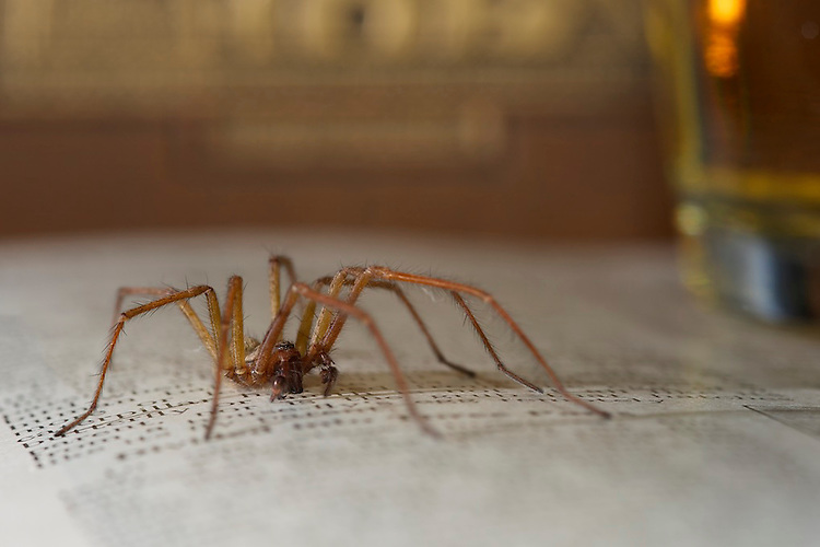 A House spider rests on a book. Wales, UK