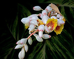 Unusual orchid-like flower blooming on a mature ornamental Ginger Plant.