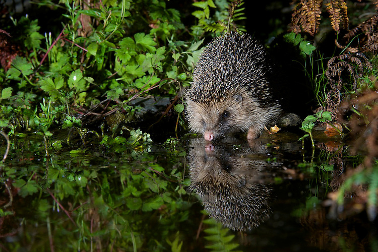 A wild Hedgehog drinking at a woodland pool. Near Corwen, north Wales