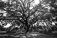 Large Oak Tree, Koreshan State Park, Estero, FL  July 2018. Shot with a Canon EOS 650 35mm SLR camera on Kodak T-Max 400 film. (Photo by Brian Cleary/ www.bcpix.com )