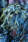 Dwarf Rockweed (Pelvetiopsis limitata), San Mateo County, California, USA