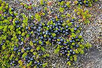 Schwarze Krähenbeere, Schwarze Krähen-Beere, Früchte, Beeren, Empetrum nigrum, Black Crowberry, blooming, Camarine noire