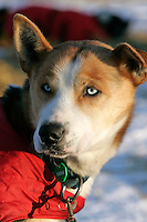 """Tuesday March 6, 2007   A Dean Osmar dog now in Aily Zirkle's team, """"Kingston"""",  rests at the Nikolai checkpoint on Tuesday"""