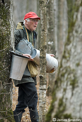 Man carrying and installing sugar maple tree sap buckets