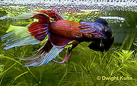 BY05-093z  Siamese Fighting Fish - male mating with egg laden female - Betta splendens