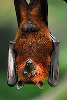 Malayan Flying Fox (Pteropus vampyrus), adult hanging, Malaysia