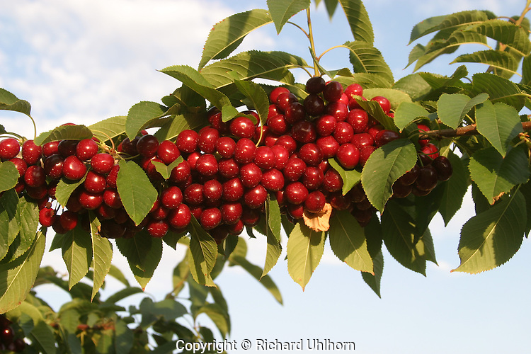 Bing cherries hang from a branch just prior to harvesting in the Lake Chelan Valley.