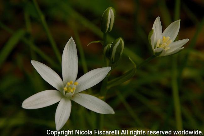 The Star of Bethlehem ( Ornithogalum umbellatum )a cluster of  beautiful white flowers.