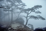 Huangshan pines (Pinus hwangshanensis), Anhui Province, China<br />