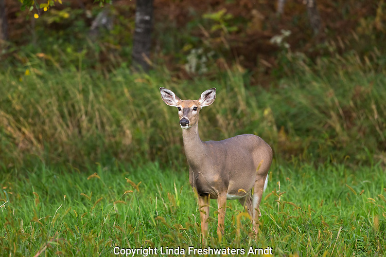 White-tailed doe standing in an autumn field.