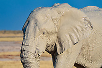 African Elephant (Loxodonta africana), male, covered with mud, Etosha National Park, Namibia, Africa