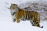 Siberian Tiger standing in the snow - CA