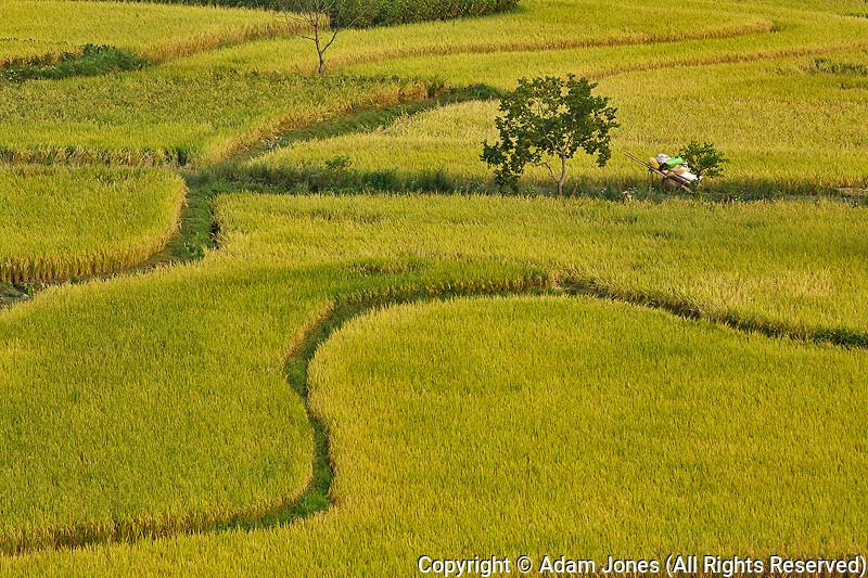 Pattern in rice fields, near Hongcun, China