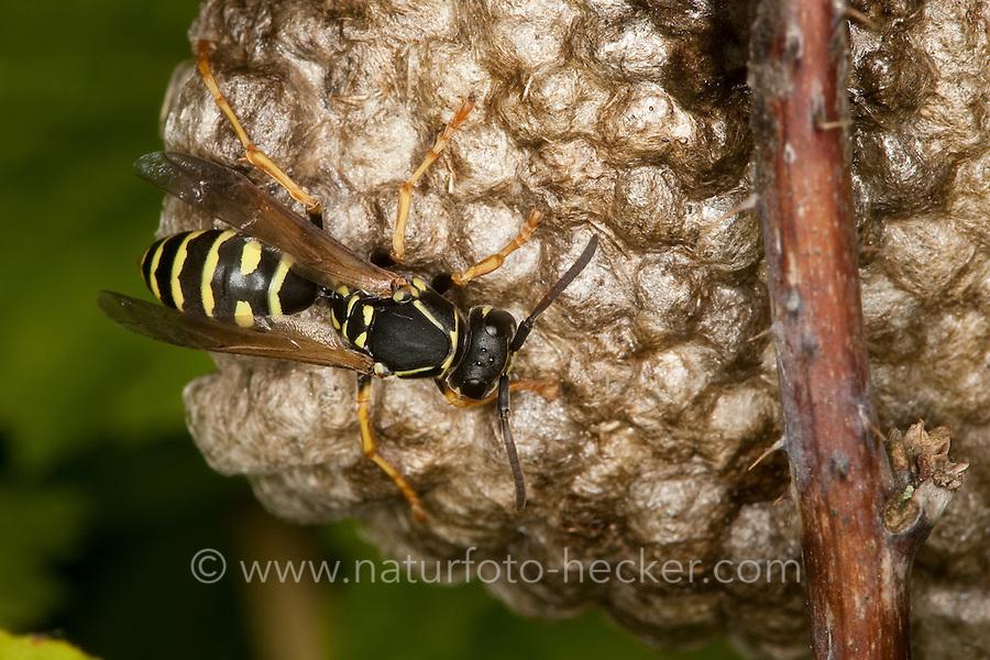 Heide-Feldwespe, Heidefeldwespe, Feldwespe, an ihrem Nest, Polistes nimpha, polistine wasp