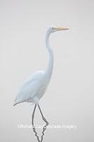 00688-02407 Great Egret (Ardea alba) in wetland in fog, Marion Co., IL