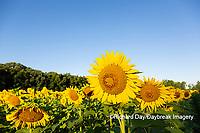 63801-11204 Sunflowers in field Jasper Co.  IL