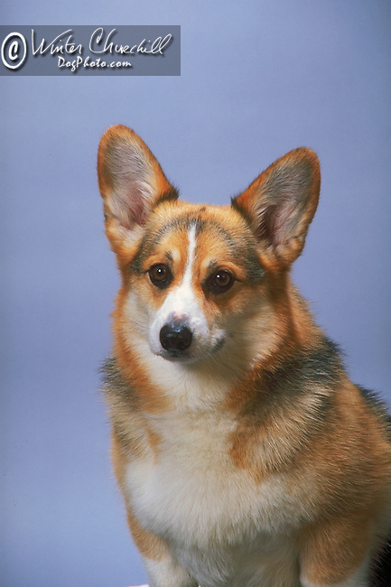 Corgi- Pembroke Welsh<br /> <br /> <br /> <br /> <br /> <br /> Shopping cart has 3 Tabs:<br /> <br /> 1) Rights-Managed downloads for Commercial Use<br /> <br /> 2) Print sizes from wallet to 20x30<br /> <br /> 3) Merchandise items like T-shirts and refrigerator magnets Shopping cart has 3 Tabs:<br /> <br /> 1) Rights-Managed downloads for Commercial Use<br /> <br /> 2) Print sizes from wallet to 20x30<br /> <br /> 3) Merchandise items like T-shirts and refrigerator magnets