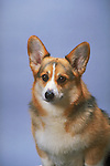 Corgi- Pembroke Welsh<br />