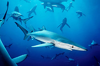 blue shark, Prionace glauca, San Clemente Island, Channel Islands, California, USA, Pacific Ocean