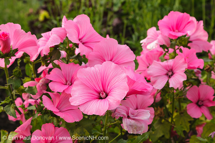 Rose Mallow....Lavatera trimestris....during the summer months at  Prescott Park in Portsmouth, New Hampshire USA