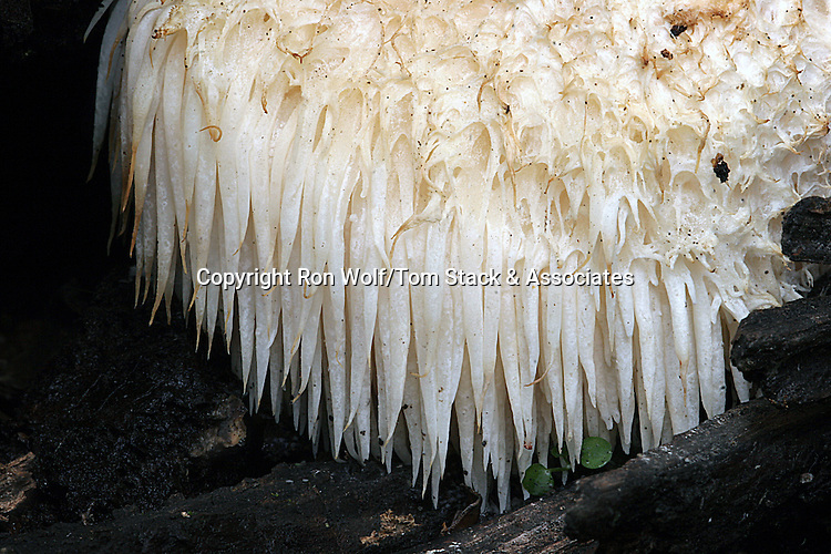 Bearded Tooth Mushroom a/k/a Lion's Mane, Satyr's Beard, Hedgehog Mushroom (Hericium erinaceus). Windy Hill Open Space Preserve. Portola Valley, San Mateo Co., Calif.