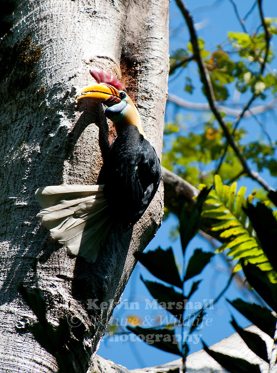 Sulawesi Red-knobbed Hornbill (Aceros cassidix) male delivering figs to female sealed inside a large fig tree.
