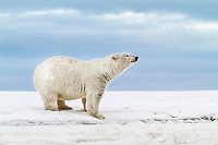 Polar bear stands on the shore of a snow covered island in the Beaufort Sea on Alaska's arctic coast.