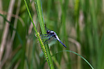 Blue corporal dragonfly - male