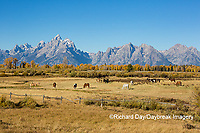67545-09607 Horses and Grand Teton Mountain Range in fall, Grand Teton National Park, WY