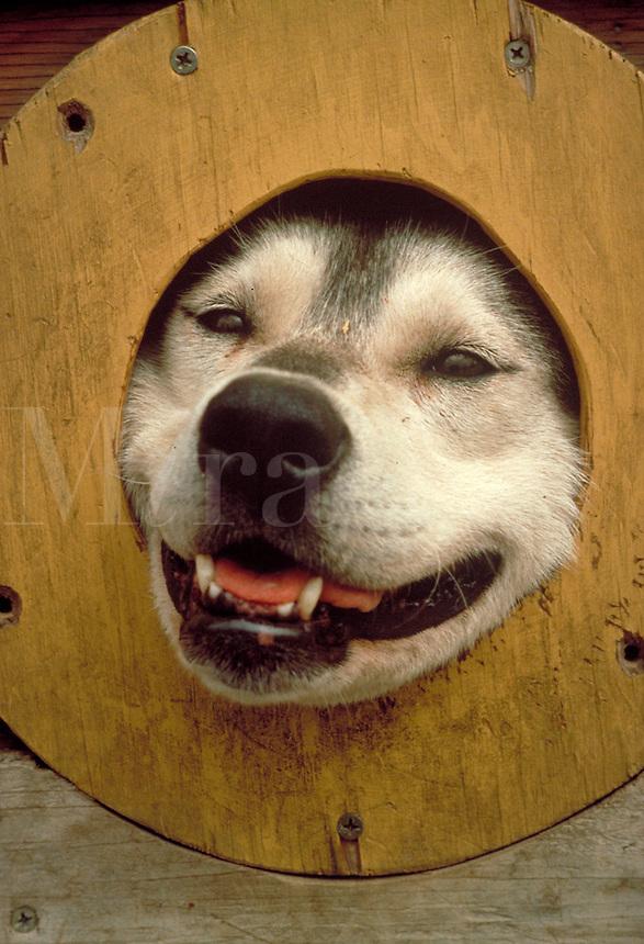Iditarod sled dog in travel trailer