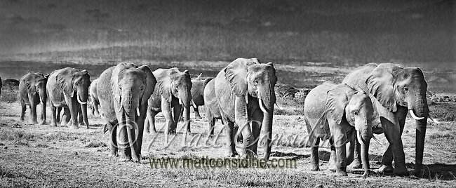 Elephant herd walking across plains in Amboseli, Kenya (photo by Wildlife Photographer Matt Considine)